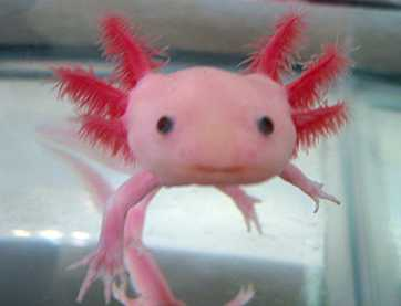 axolotlhappy